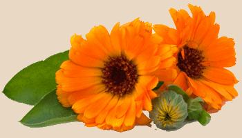 Calendula (goudsbloem) helpt bij eczeem